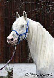 Hispanoarber Andalusier x Araber Wallach