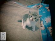 British Shorthair Baby