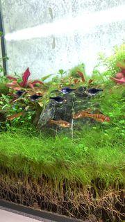 7 Angola Barben 4 Keilfleckbärblinge