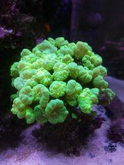 grüne Caulastrea Koralle