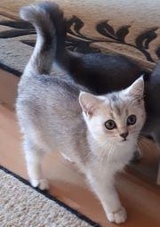 bkh kitten black silver shaded