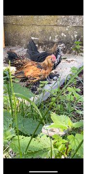 Federfüßige Zwerghühner zu verschenken