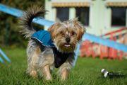 MILA - kleine Yorkshire-Terrier-Mix-Hündin sucht