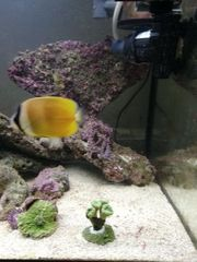 Falter Fisch