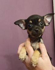 Chihuahua Welpen black tan abzugeben