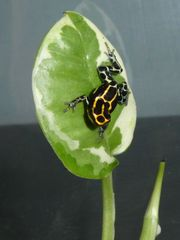 Ranitomeya ventrimaculata