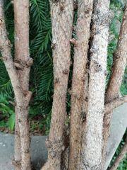 Zweige trocken