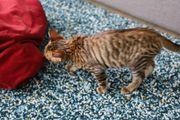 Wunderschönes reinrassiges Toyger Kitten