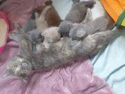 1 kleines BKH Kitten suchen