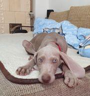 Weimaraner Puppy 3 Monate jung