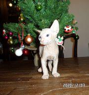 Kitten Don Sphynx mit Stammbaum