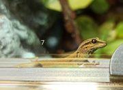 Himmelblauer Zwerggecko - Lygodactylus Williamsi