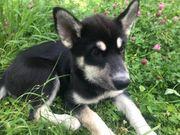 Sibirien Husky Weibchen 13 Wochen