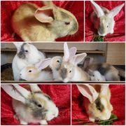 Deutsche Riesen - Hase - Kaninchen