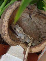 kronengecko abzugeben