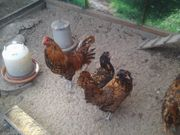 Eulenbart Hühner