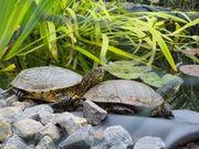 Biete Platz für europäische Sumpfschildkröten
