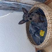 Chihuahua merle kurzhaar