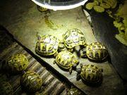 Griechische Landschildkröten Thb Nachzucht von