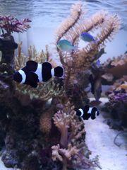 Schwarzes Clown-Fisch-Pärchen schwarze Nemos