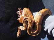 Boa constrictor imperator HYPO DNZ
