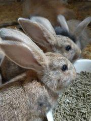 Deutscher-Riese-Kaninchen-Mixe Jungtiere