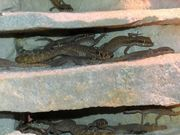 Wüstenzwerggeckos Tropiocolotes Tripolitanus
