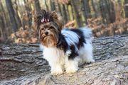 Süßes reinrassiges Biewer Yorkshire Terrier