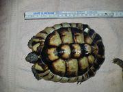 2 Breitbandschildkröten Testudo Marginata