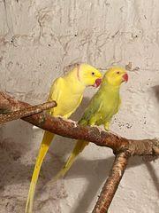 Halsbandsittich Taranta Papageien Pärchen