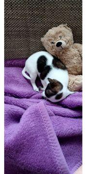 Wunderschön gezeichneter Chihuahua Rüde