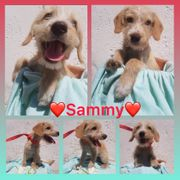 Welpe Sammy 5 Monate Rüde