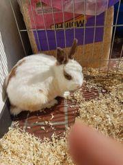 1 kaninchen weibchen