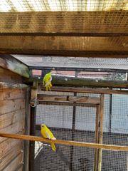 2 Zuchtpaare gelbe Schönsittiche ohne