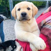 Labrador Welpen Abgabebereit