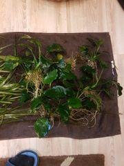 Aquarienpflanzen Valisnerien und Anubia