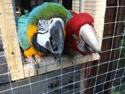 Aras Papageien Paar Gelbbrustaras Dunkelroter