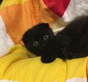 Liebevolles Scottish Fold Kitten