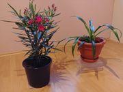 Grünlilie und Oleander Oleander zur