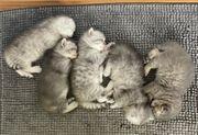 Wunderschöne Britisch Kurzhaar Kitten BKH