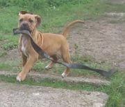 Bullmastiff Bulldog Mädchen