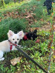 Reinrassiger Chihuahua Welpe Rüde