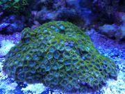 Zoanthus Korallen Korallenableger Meerwasser mit