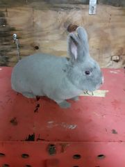 Marburger feh kaninchen