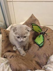 BKH Kitten Kätzchen Britisch Kurzhaar