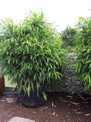Bambus schwarz und grün