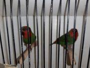 Rotköpfige Papageiamadine Weibchen