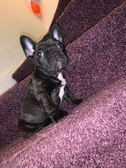 Französische Bulldogge Rüde Dark Schoko