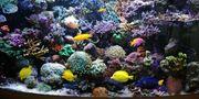 Korallenableger Korallen
