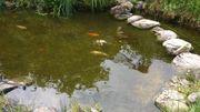 Kaltwasserfische Koi Graskarpfen zu verkaufen